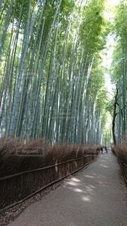 京都嵐山天龍寺近くの竹林の小径の写真・画像素材[4555493]