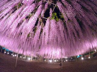藤の花の写真・画像素材[4565690]