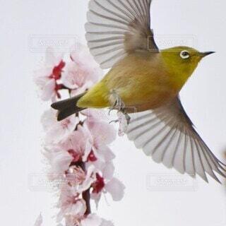 梅の木から羽ばたたく、メジロちゃんの写真・画像素材[4546602]