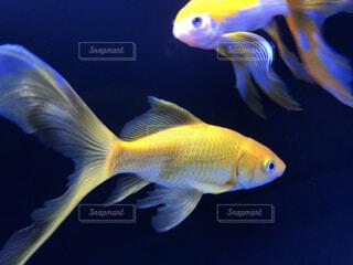 魚のクローズアップの写真・画像素材[4537449]