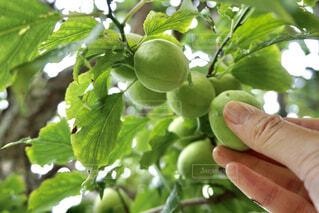 梅仕事 梅を収穫する女性の写真・画像素材[4539234]