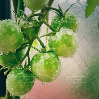 水滴がついたミニトマトの写真・画像素材[4655095]