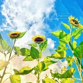 夏空に向かって咲くひまわりの写真・画像素材[4657521]