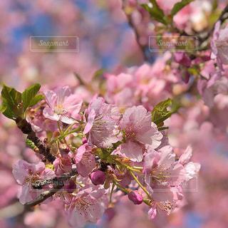 空,ピンク,青空,景色,お花見,河津桜,草木,桜の花,日中,さくら,ブロッサム