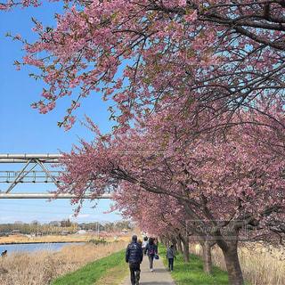 空,公園,春,屋外,ピンク,青空,川辺,川,景色,草,樹木,お花見,道,河津桜,草木,桜の花,日中,さくら,ブロッサム