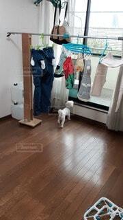 ワンコの服 伸~びる枝切りバサミ DIY洗濯物用支柱コロ付きの写真・画像素材[4628569]