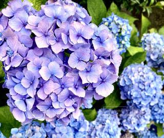 紫陽花畑の写真・画像素材[4554628]