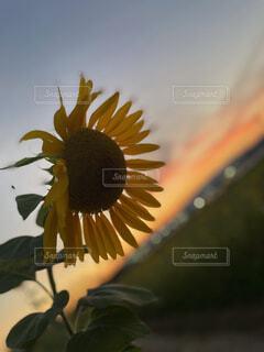 ひまわりと夕陽の写真・画像素材[4672943]