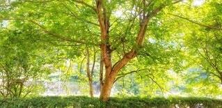 もみじ樹木です。の写真・画像素材[4640527]