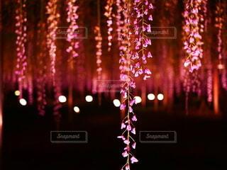 暗闇に光る藤の花の写真・画像素材[4549799]