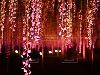暗闇に光る藤の花②の写真・画像素材[4549801]