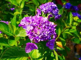 1輪の紫の紫陽花の写真・画像素材[4554093]