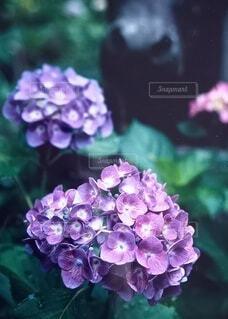 紫陽花に近寄る鼻先の写真・画像素材[4550577]