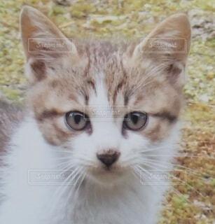 野良猫の眼差しの写真・画像素材[4550575]