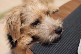 カメラを見て、小さな茶色と白犬の写真・画像素材[985909]