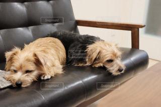 椅子に横になっている茶色と白犬 - No.985912