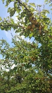梅の実の青空の写真・画像素材[4552228]