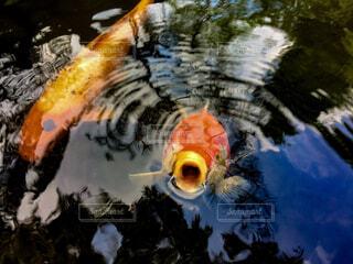 人懐こい鯉の写真・画像素材[4559715]