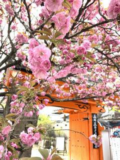 桜,八重桜,和