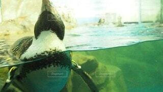 動物,屋内,かわいい,水族館,水面,ペンギン,泳ぐ,可愛い,2頭,動画,浮かぶ,人慣れ,動く,ムービー,人馴れ