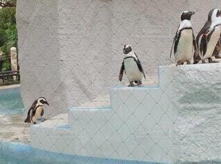 動物,鳥,屋内,屋外,階段,かわいい,水族館,ペンギン,可愛い,地面,水鳥,動画,動く,ムービー