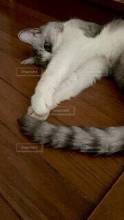 猫,屋内,肉球,グレー,しっぽ