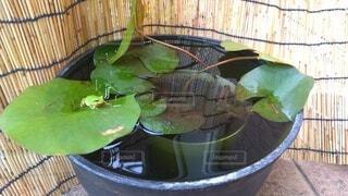 蓮の上のカエルの写真・画像素材[4555595]