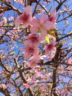 青空に映えるピンクの桜の写真・画像素材[4567759]
