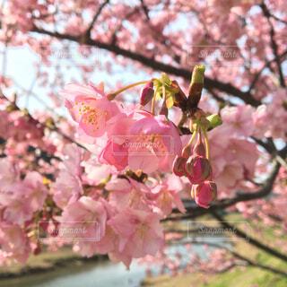 河原に咲くさくらの写真・画像素材[4567763]