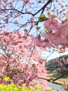 桜と菜の花の写真・画像素材[4567760]