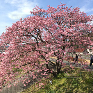 大きな桜の木の写真・画像素材[4567762]