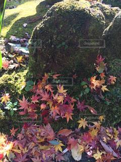 紅葉の絨毯の写真・画像素材[4577414]