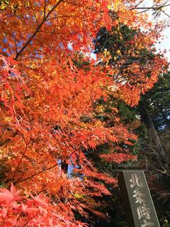 真っ赤に紅葉した木の写真・画像素材[4577415]