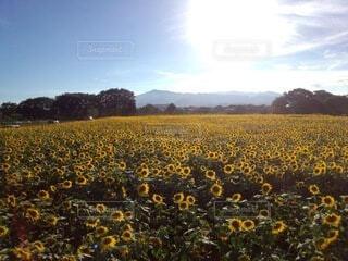綺麗に整列しているひまわり畑の写真・画像素材[4657112]
