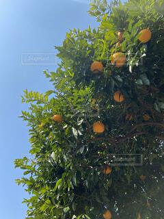 木からぶら下がっているオレンジのグループの写真・画像素材[4561293]