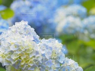 アジサイがキレイに咲き始めましたの写真・画像素材[4562238]