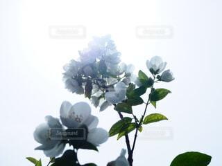 花びらを透けた光が希望のようですの写真・画像素材[4564523]