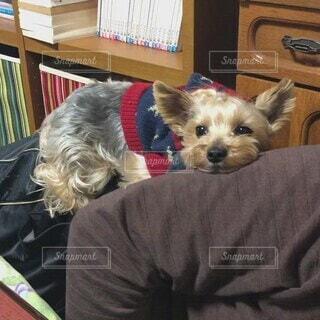 犬,動物,屋内,かわいい,室内,人物,人,子犬,ヨークシャテリア,dog,ヨーキー,モカ,Yorkie