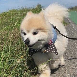犬,動物,ポメラニアン,屋外,かわいい,おじいちゃん,子犬,dog,お散歩,海沿い,遊歩道,pomeranian,ワンコ,マル,pome