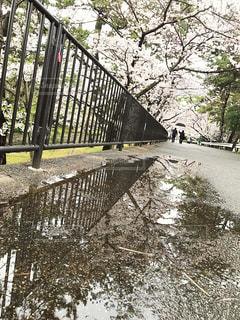桜,水たまり,雨上がり,夙川,オアシス道路