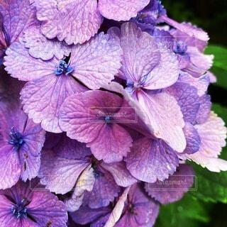自然,花,紫,紫陽花,草木,フローラ