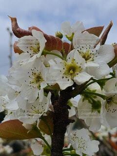 梨の白い花の写真・画像素材[4587346]