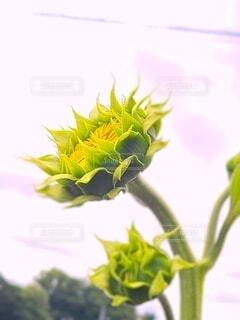 咲き始めのヒマワリの写真・画像素材[4612922]