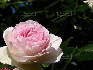 ピンクのバラのクローズアップの写真・画像素材[4613750]