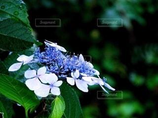 青いガクアジサイのクローズアップの写真・画像素材[4616440]