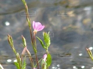 川沿の土手で咲くピンクの草花の写真・画像素材[4616756]