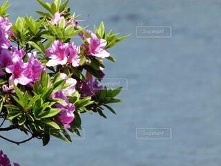 赤紫のツツジの花の写真・画像素材[4617263]