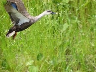 草な上を羽ばたくカモの写真の写真・画像素材[4617390]