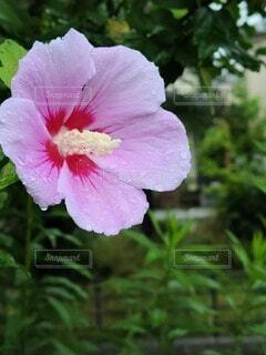 雨降りの中、濡れる花(ムクゲ)の写真・画像素材[4621992]