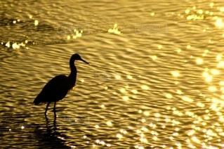 金色に輝く川に白鷺のシルエットの写真・画像素材[4623118]